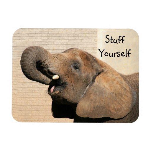 African elephant eats rectangular magnets