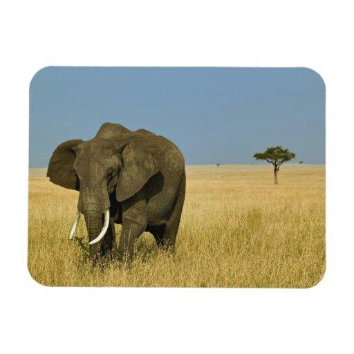 African Elephant grazing in tall summer grass, Rectangular Magnet