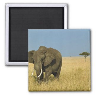 African Elephant grazing in tall summer grass, Square Magnet