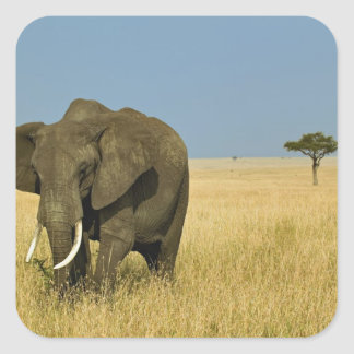 African Elephant grazing in tall summer grass, Square Sticker