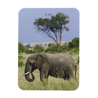 African Elephant grazing, Loxodonta africana, Magnet
