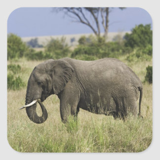 African Elephant grazing, Loxodonta africana, Square Sticker