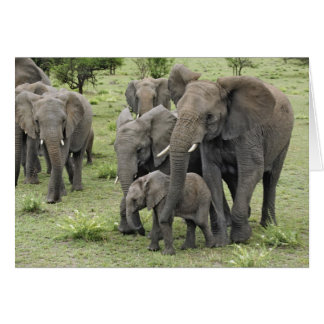 African Elephant herd, Loxodonta africana, 2 Card