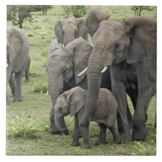 African Elephant herd, Loxodonta africana, 2 Large Square Tile