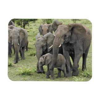 African Elephant herd, Loxodonta africana, 2 Magnet