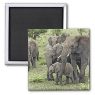 African Elephant herd, Loxodonta africana, 2 Square Magnet