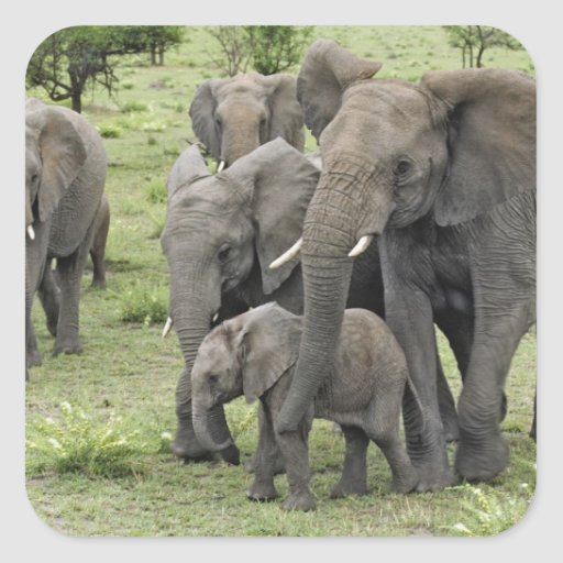 African Elephant herd, Loxodonta africana, 2 Square Stickers