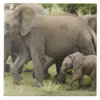 African Elephant herd, Loxodonta africana, 3 Large Square Tile