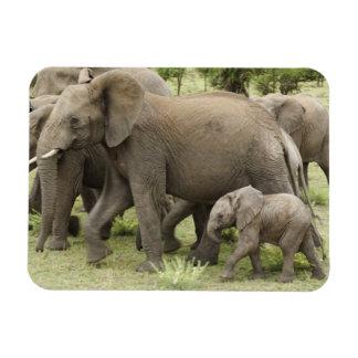 African Elephant herd, Loxodonta africana, 3 Rectangular Photo Magnet
