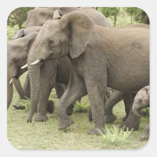 African Elephant herd, Loxodonta africana, 3 Square Sticker
