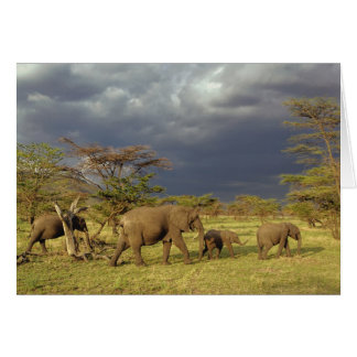 African Elephant herd, Loxodonta africana, Greeting Card