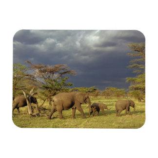 African Elephant herd, Loxodonta africana, Rectangular Photo Magnet