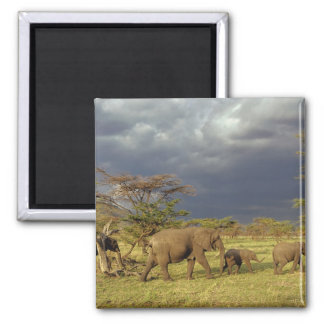 African Elephant herd, Loxodonta africana, Square Magnet