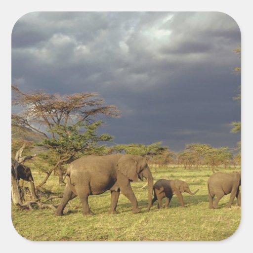 African Elephant herd, Loxodonta africana, Sticker