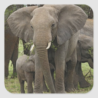 African Elephant herd, Loxodonta africana, Square Sticker