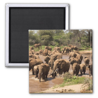 African Elephant, Loxodonta africana, crossing Fridge Magnet