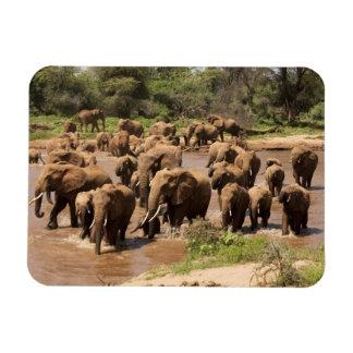 African Elephant, Loxodonta africana, crossing Rectangular Photo Magnet