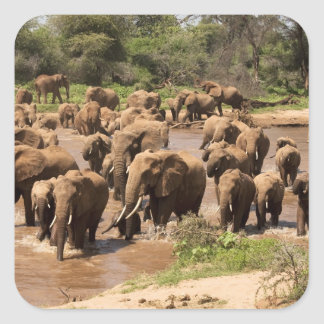 African Elephant, Loxodonta africana, crossing Square Sticker