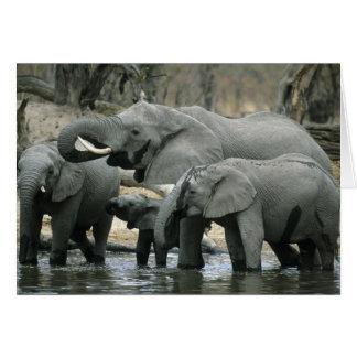 African Elephant, (Loxodonta africana), drinking Card