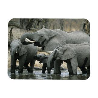 African Elephant, (Loxodonta africana), drinking Rectangular Photo Magnet