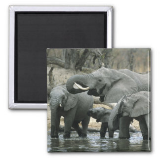 African Elephant, (Loxodonta africana), drinking Magnet
