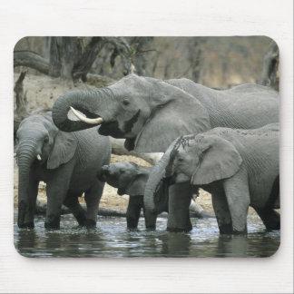 African Elephant, (Loxodonta africana), drinking Mouse Pad
