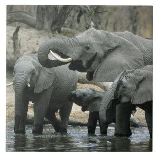 African Elephant, (Loxodonta africana), drinking Tile