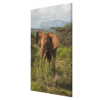 African Elephant, Loxodonta africana, in Samburu Canvas Prints