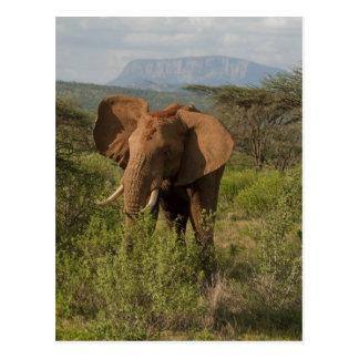 African Elephant, Loxodonta africana, in Samburu Postcard