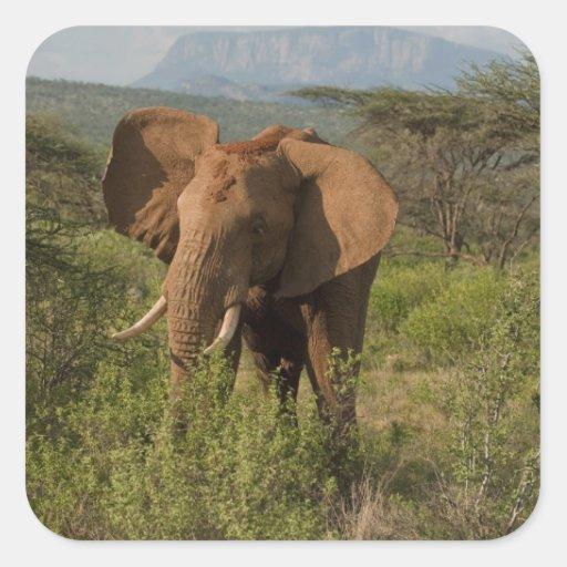 African Elephant, Loxodonta africana, in Samburu Stickers