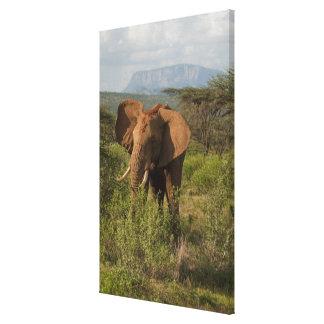 African Elephant, Loxodonta africana, in Samburu Stretched Canvas Print