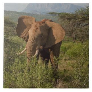 African Elephant, Loxodonta africana, in Samburu Tile