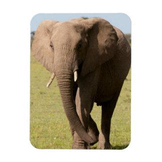 African Elephant (Loxodonta Africana), Maasai Rectangular Photo Magnet