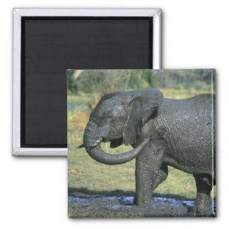 African Elephant, (Loxodonta africana), mud Magnet