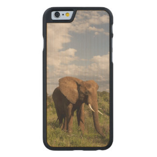 African Elephant, Loxodonta africana, out in a Carved Maple iPhone 6 Case