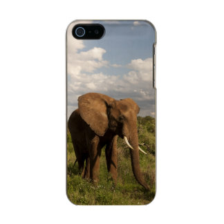 African Elephant, Loxodonta africana, out in a Incipio Feather® Shine iPhone 5 Case