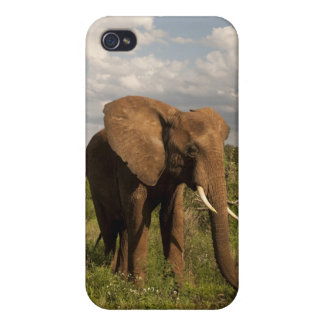 African Elephant, Loxodonta africana, out in a iPhone 4/4S Covers