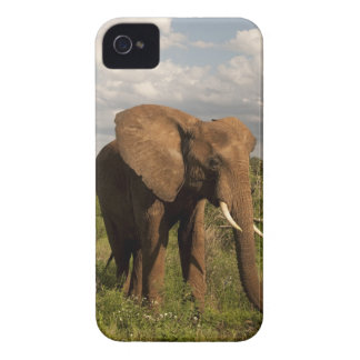 African Elephant, Loxodonta africana, out in a iPhone 4 Covers