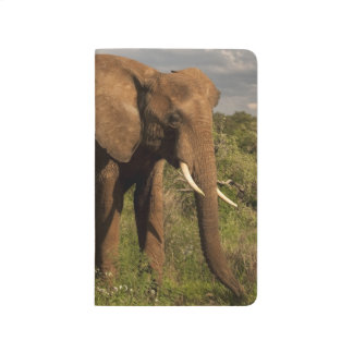 African Elephant, Loxodonta africana, out in a Journal