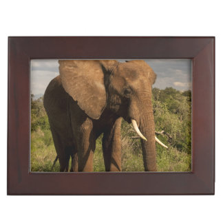 African Elephant, Loxodonta africana, out in a Keepsake Box
