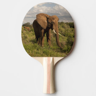 African Elephant, Loxodonta africana, out in a Ping Pong Paddle