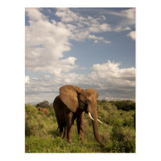 African Elephant, Loxodonta africana, out in a Postcard