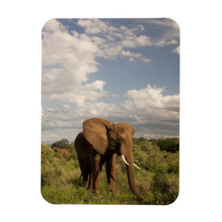 African Elephant, Loxodonta africana, out in a Rectangular Photo Magnet