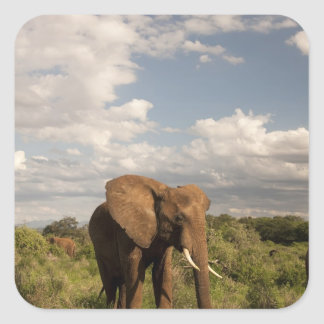 African Elephant, Loxodonta africana, out in a Square Sticker