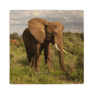 African Elephant, Loxodonta africana, out in a Wood Coaster