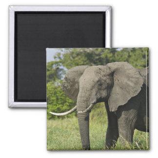 African Elephant, Masai Mara, Kenya. Loxodonta Magnet