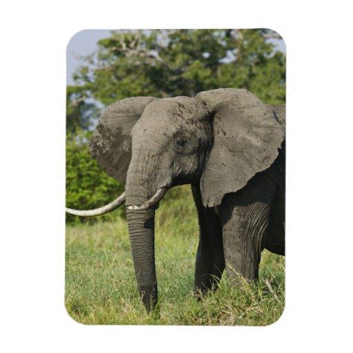 African Elephant, Masai Mara, Kenya. Loxodonta Rectangle Magnets