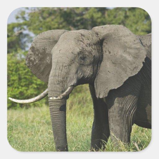 African Elephant, Masai Mara, Kenya. Loxodonta Sticker