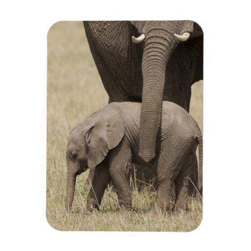 African Elephant mother with baby walking 2 Magnets