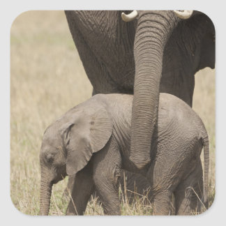African Elephant mother with baby walking 2 Square Sticker